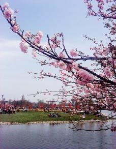 湖畔樱花图片