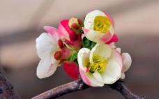 五色木桃花图片