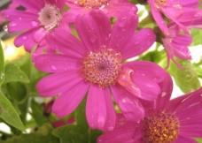 花朵 露水图片