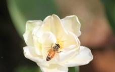 蜂舞花间图片