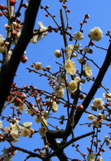 蓝天下的梅花图片
