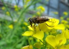 采蜜的小蜜蜂图片
