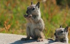 两只张望的灰色小松鼠图片