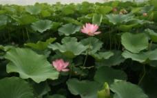 莲花池 荷花图片