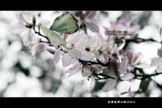 原创紫荆花摄影图下载
