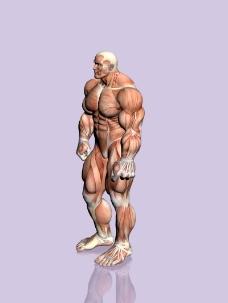 肌肉人体模型0132