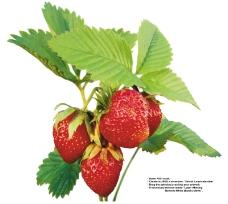 莓果0285
