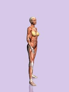 肌肉人体模型0126