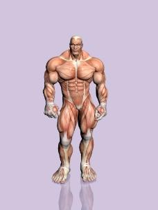 肌肉人体模型0137