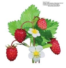 莓果0258