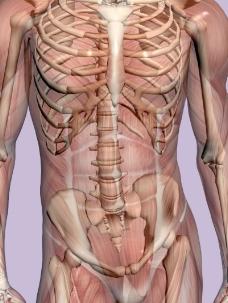 肌肉人体模型0145