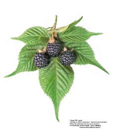 莓果0244