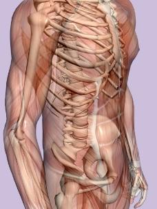 肌肉人体模型0146