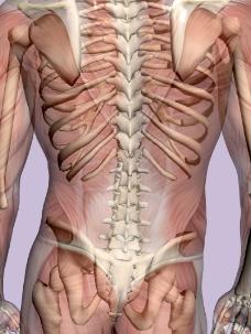 肌肉人体模型0140