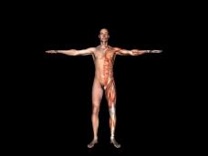 肌肉人体模型0121