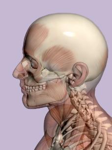 肌肉人体模型0143