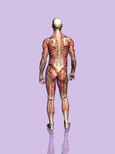 肌肉人体模型0154