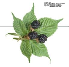 莓果0242