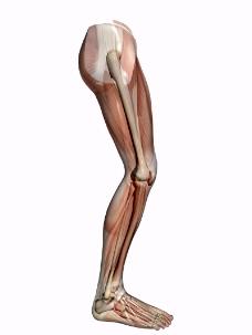 肌肉人体模型0162