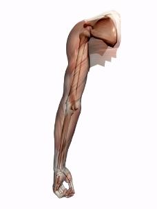 肌肉人体模型0166