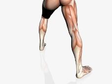 肌肉人体模型0100