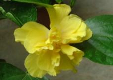 黄扶桑图片