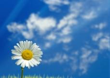 蓝天菊花图片