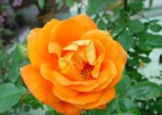 橙色月季图片