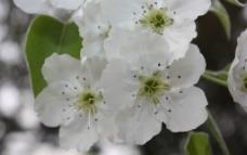 春之梨花图片