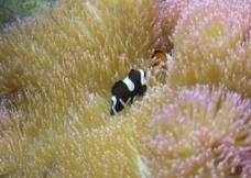 海水鱼之小丑地毯图片