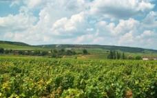 法国 第戎 葡萄种植园图片