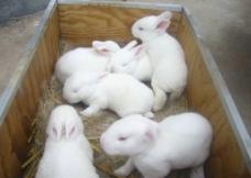 兔子的叫声在线试听