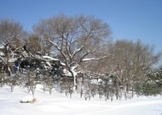 雪天公园里德树图片