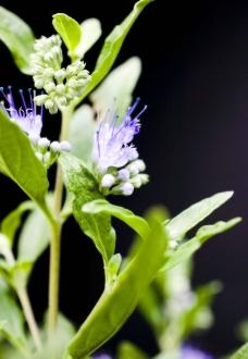 青紫小花图片