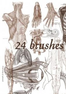 24款高清晰人體解剖圖案PS筆刷
